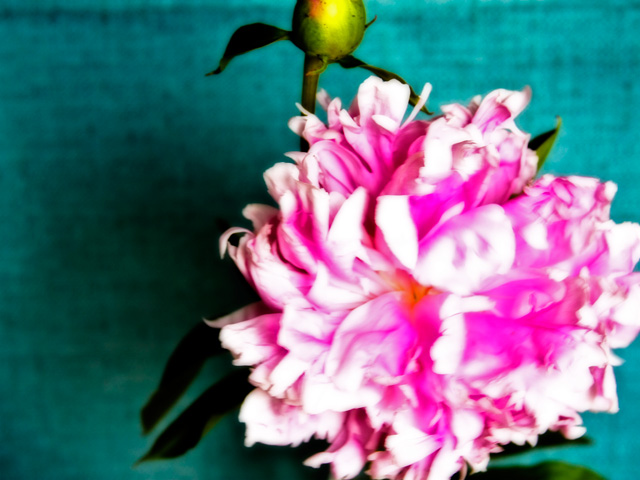 blurrypeony_bluebackground.jpg