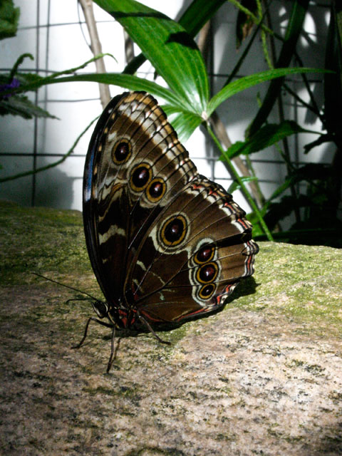 butterfly_bluemorpho_outer.jpg