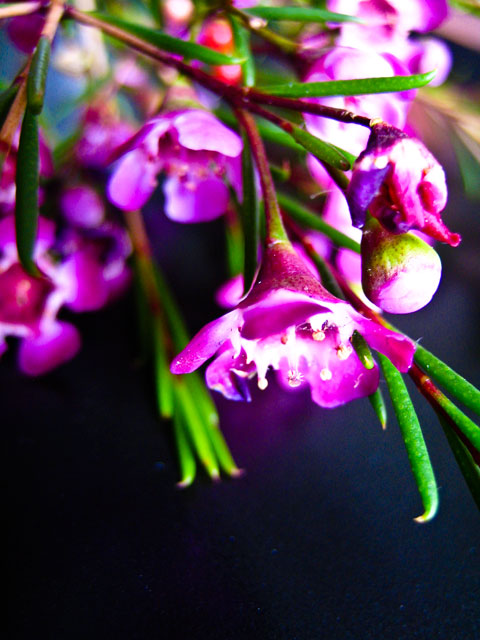 waxflower_black.jpg