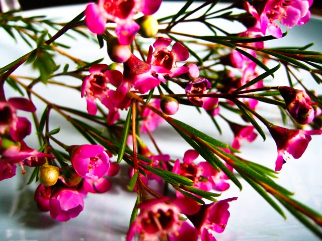 waxflower_blueplate.jpg